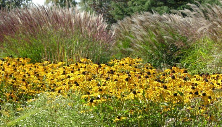 Rudbekia i jeżówka – kwiaty amerykańskiej prerii