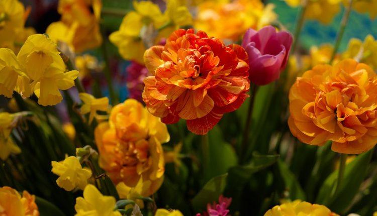 Tulipany pełne wdzięku