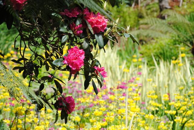 Rododendrony do każdego ogrodu