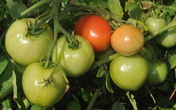Uprawiamy pomidory gruntowe ekologicznie – cz. I