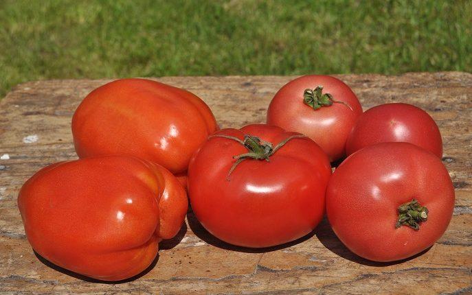 Uprawiamy pomidory gruntowe ekologicznie – cz. II