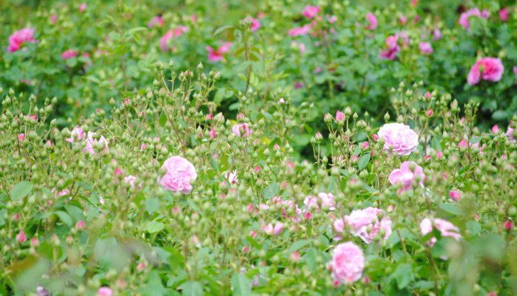 Jakie nowe oraz angielskie róże warto posadzić w ogrodzie?