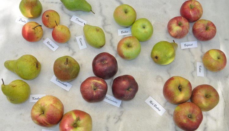 Odmiany jabłoni do ogrodu przydomowego