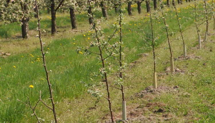 Zakładamy własny sad, czyli jak sadzić drzewka owocowe