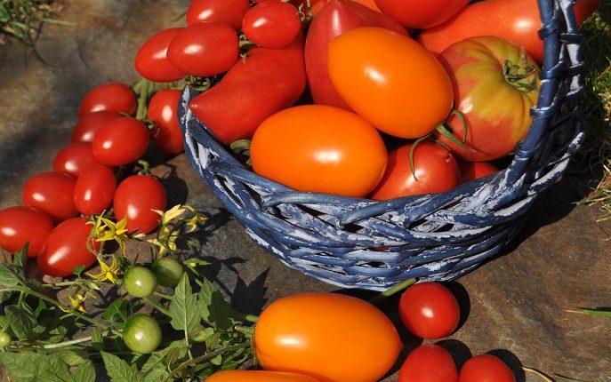 Pomidory – jakie odmiany warto mieć w warzywniku