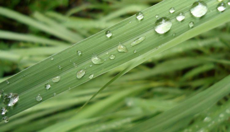 Jak uprawiać trawę cytrynową?