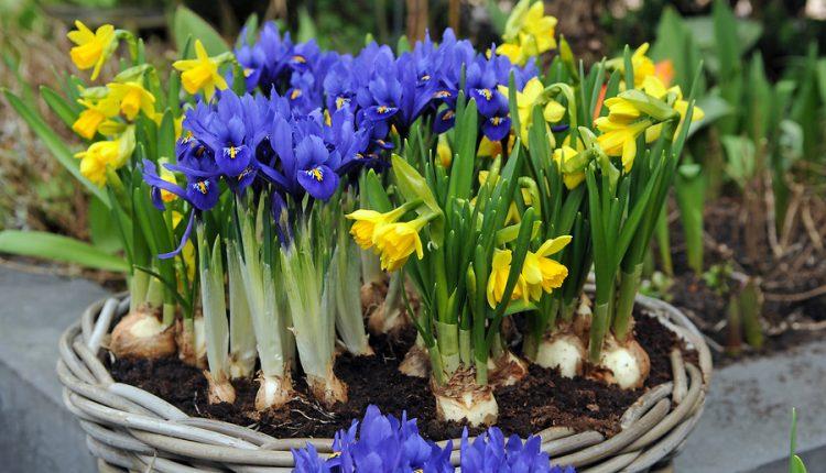 Wiosenne cebulki na domowy parapet