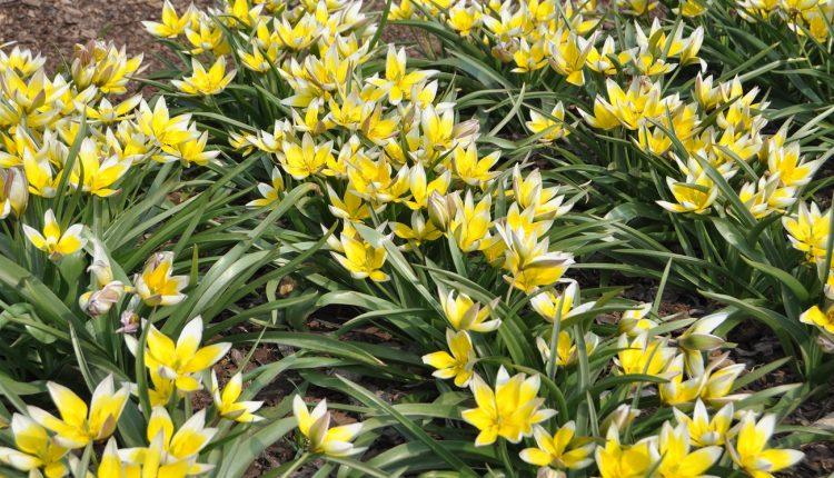 Botaniczne cudeńka, czyli tulipany miniaturowe
