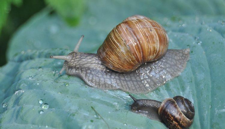 Ślimak, ślimak wystaw rogi …