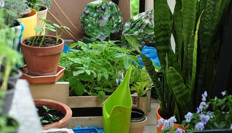 Warzywnik na balkonie u Ewy G