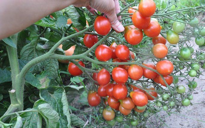 Odmiany pomidorów koktajlowych w uprawie gruntowej