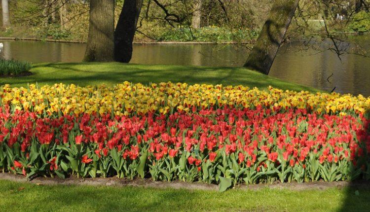Marcowe tulipany