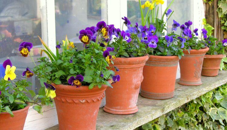 Bratki do wiosennego ogrodu