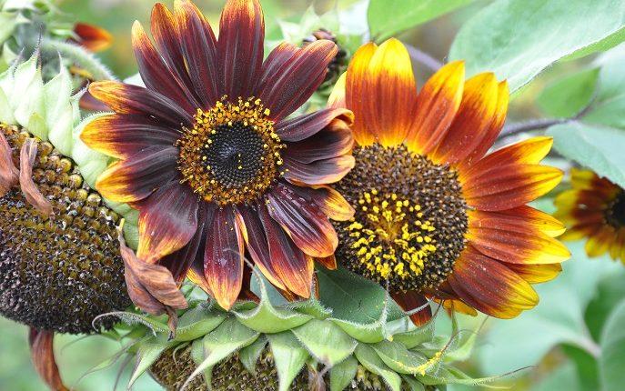 Piękne i pożyteczne kwiaty słonecznika