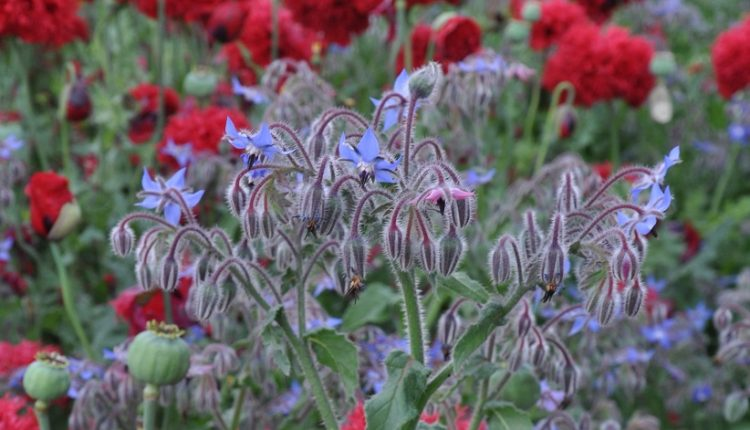 Ogórecznik – wszechstronna roślina ogrodowa