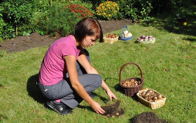 Jak posadzić cebulki w trawniku?