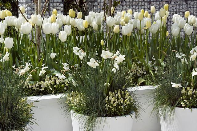 Wiosenne kwiaty cebulowe w odcieniach bieli