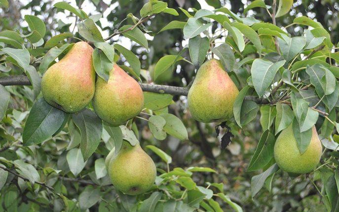 Ciekawe odmiany gruszy uprawnej