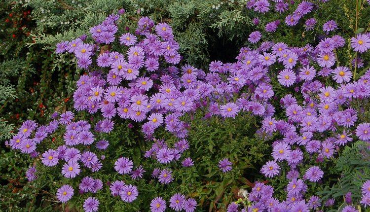 Jesienne astry bylinowe