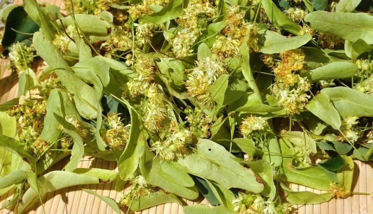 Lipa – ziołowy lek pozyskiwany z natury