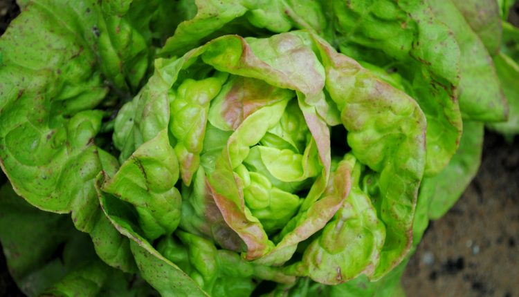Najsmaczniejsze rodzaje i odmiany sałat