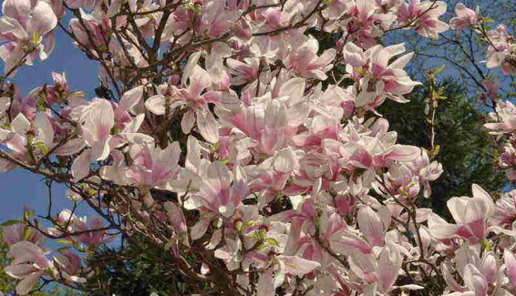 Olśniewające magnolie