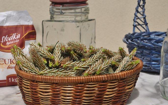 Leczniczy syrop z młodych pędów sosny