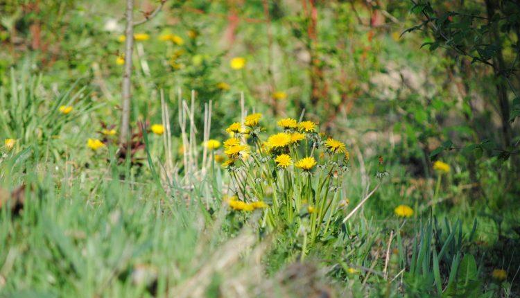 Syrop z kwiatów mniszka lekarskiego, polecany dla dzieci