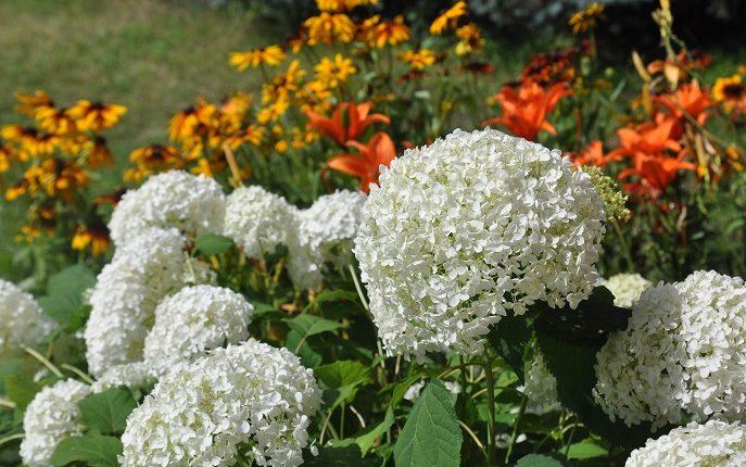 Hortensja drzewiasta – burza śnieżnobiałych kwiatów