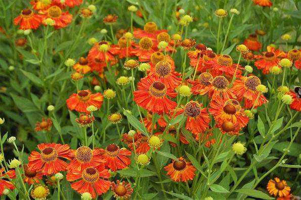 Dzielżan jesienny – urodziwa bylina na pożegnanie lata