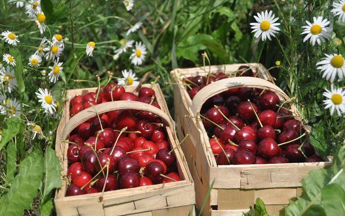 Zakładamy własny sad, czyli jak wybrać drzewa owocowe