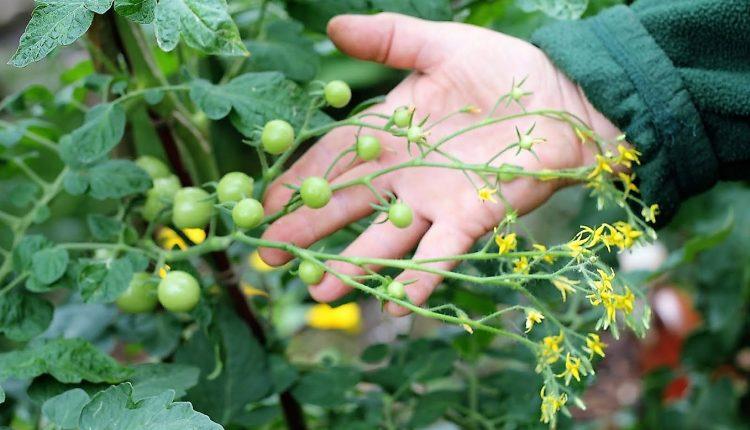 AMORe POMIDORe – czyli jak pokochać uprawę pomidorów