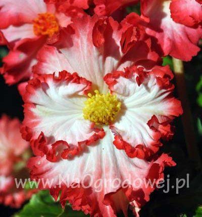 Begonia Crispa Marginata