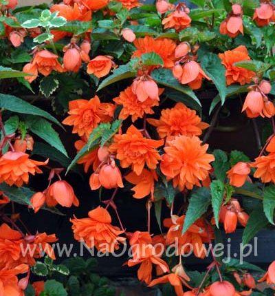 Begonia zwisająca pendula