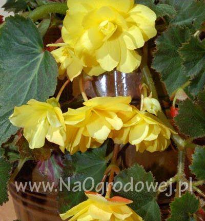 Begonia zwisająca cascade