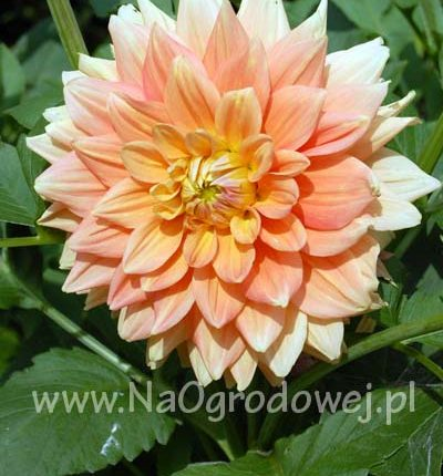 Dalia 'Ace Summer Sunset'