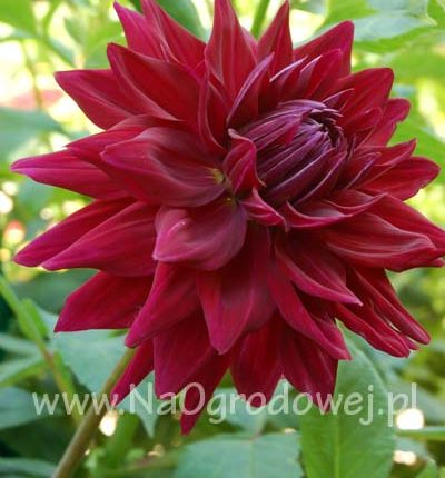 Dalia 'Black Wizard'