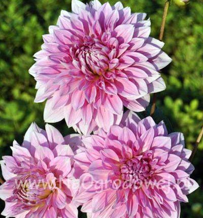 Dalia 'Lavender Perfection'