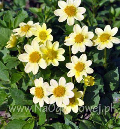Dalia 'Topmix Yellow'