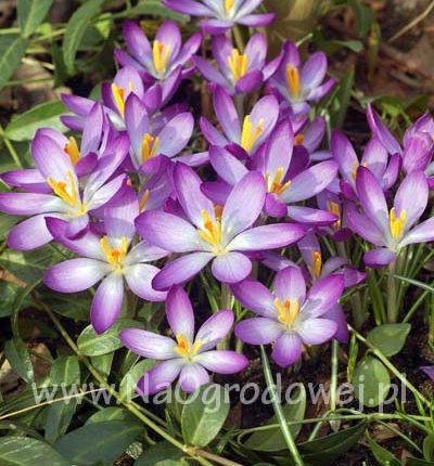 Krokus 'Whitewell Purple'