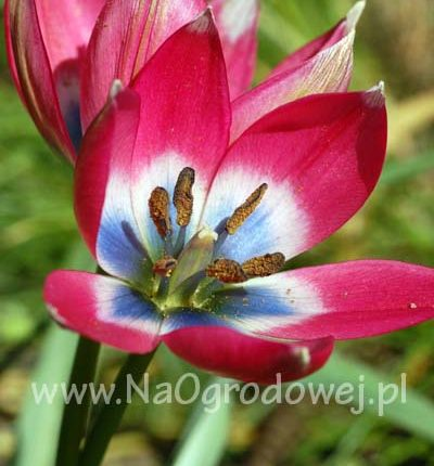 Tulipan niski 'Little Beauty'