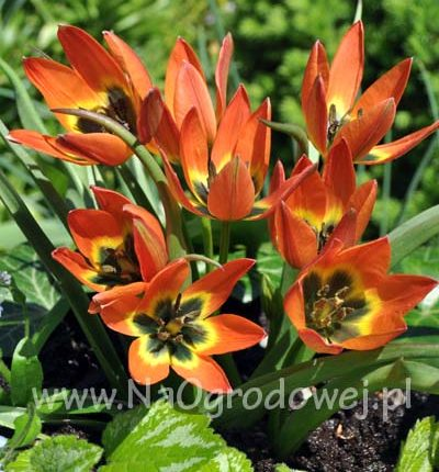 Tulipan niski 'Little Princess'