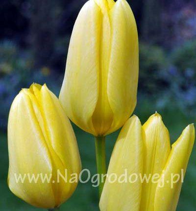 Tulipan 'Candela'