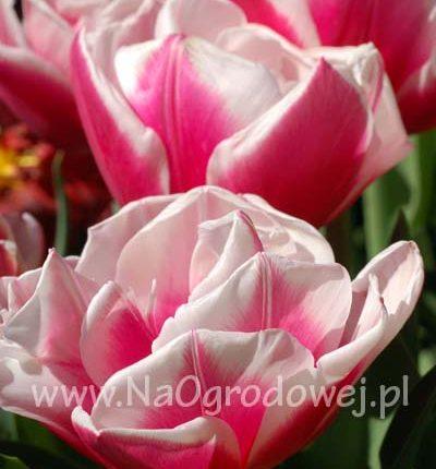 Tulipan 'Wirosa'