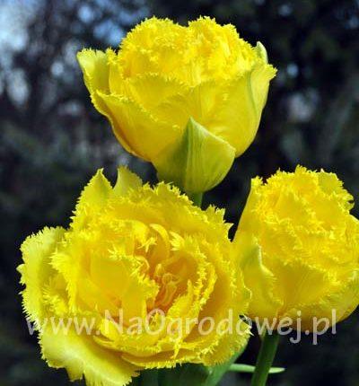 Tulipan 'Exotic Sun'