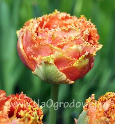 Tulipan 'Sensual Touch'