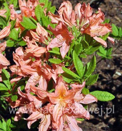 Azalia 'Pink Delight'