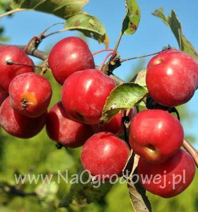 Jabłoń ozdobna 'Red Sentinel'