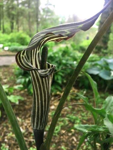 Arizema (Arisaema ciliatum var liubaense)