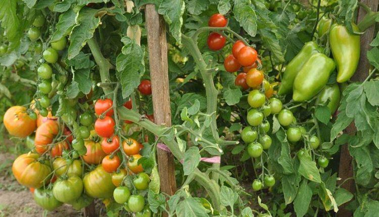 Jak uprawiać szczepione pomidory w gruncie